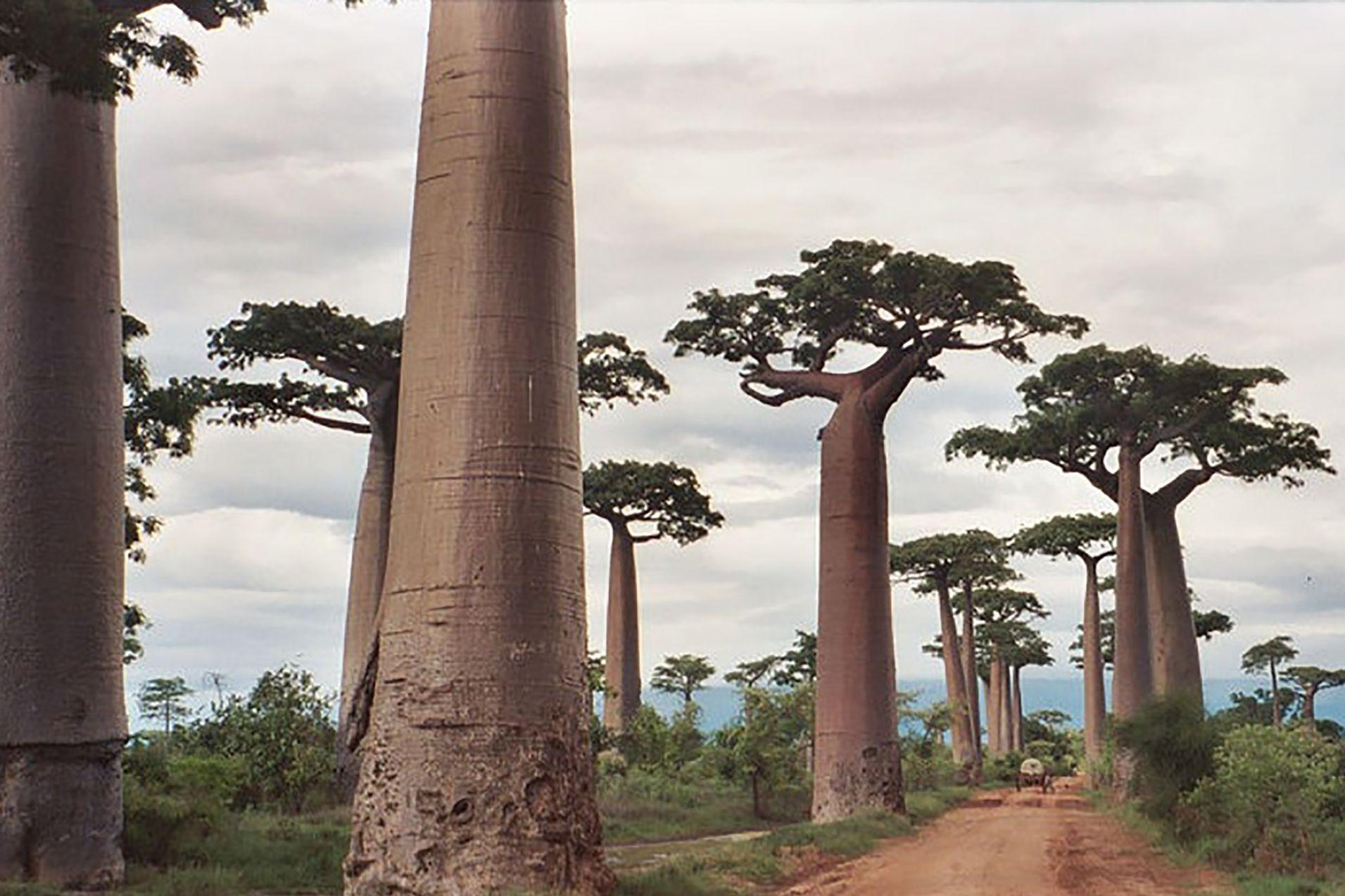 avenue-baobabs-madagaskar