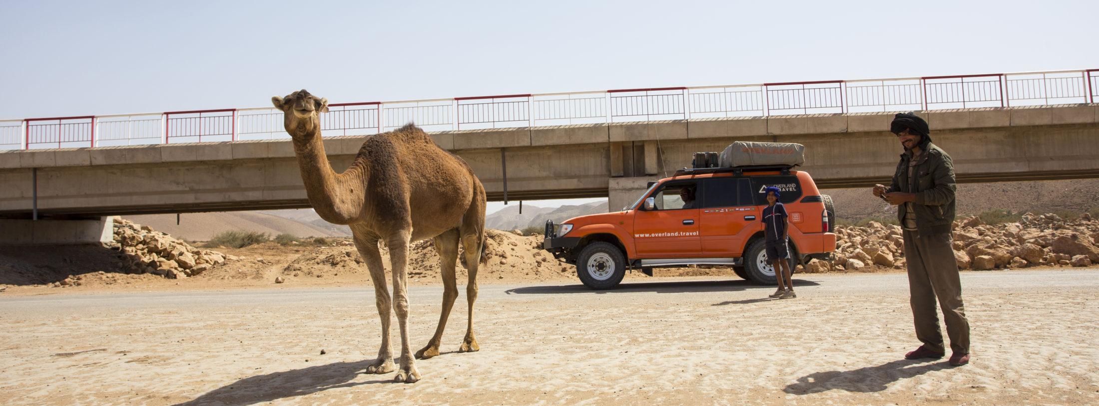 Marokko kameel